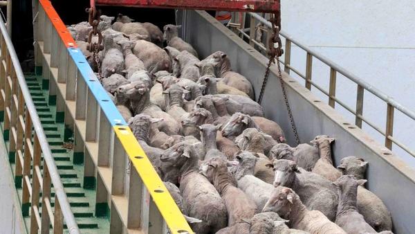 افزایش ۱۰ هزار تومانی قیمت دام زنده بدلیل قاچاق