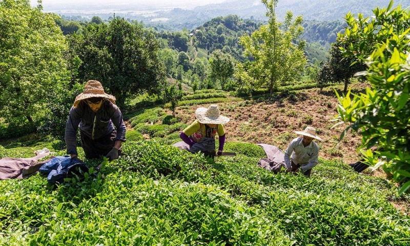 بیش از ۱۲۶ هزار تن برگ سبز چای امسال خریداری شد