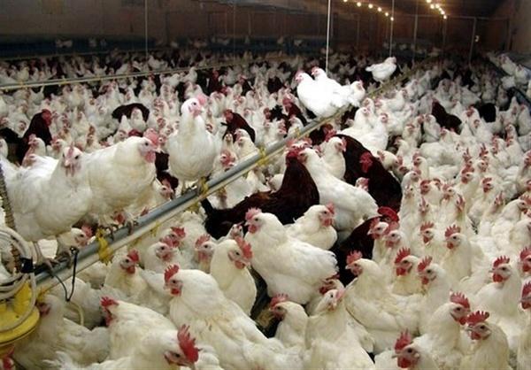 نگرانی از شیوع بیماری آنفلوآنزای فوق حاد پرندگان با شروع فصل سرما