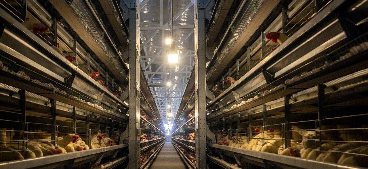 تأمین ۱۰۰ درصدی نهادههای مورد نیاز مرغداریها در سامانه بازارگاه