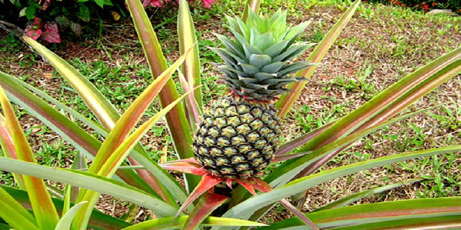 واردات موز و آناناس در برابر صادرات سیب آزاد است