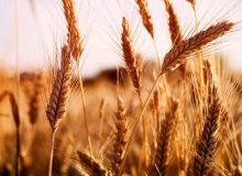 خرید تضمینی بیش از یک میلیون تن گندم تا ۱۸ اردیبهشتماه