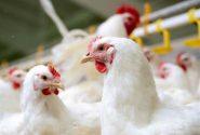 مرغداران خواستار کنترل نرخ مولفههای تولید شدند