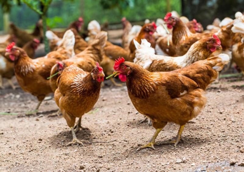 اجرای طرح پرورش مرغ بومی خانگی در تعاونیهای روستایی کلید خورد