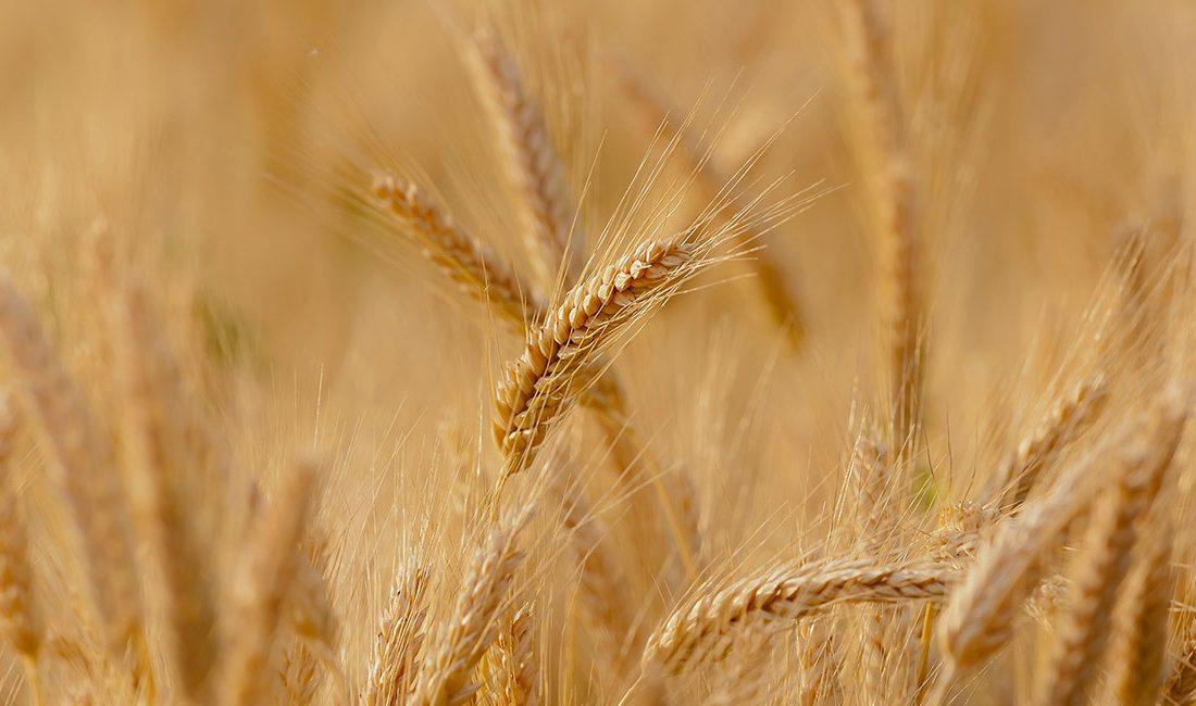 قیمت خرید تضمینی گندم در سال زراعی آینده چقدر خواهد بود؟