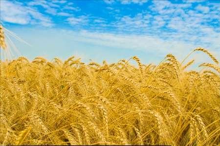 پیش بینی کشت ۶ میلیون هکتار گندم در سال زراعی جاری