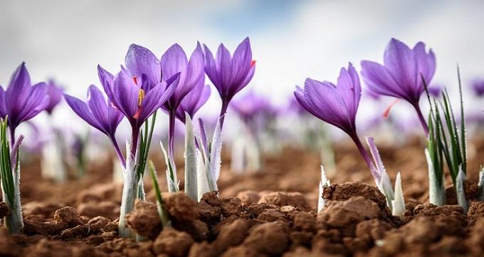 خرید حمایتی زعفران توسط دولت با هدف حمایت از تولیدکنندگان