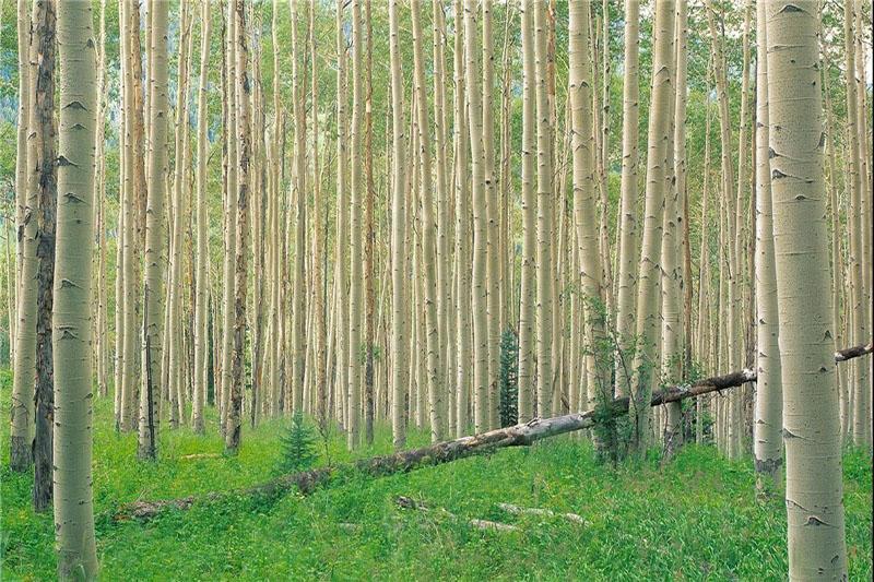 ۳۵ میلیون اصله نهال در سال برای اجرای طرح ملی توسعه زراعت چوب نیاز است