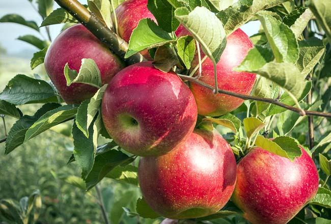 پیشبینی تولید بیش از ۴.۱ میلیون تن سیب در سالجاری