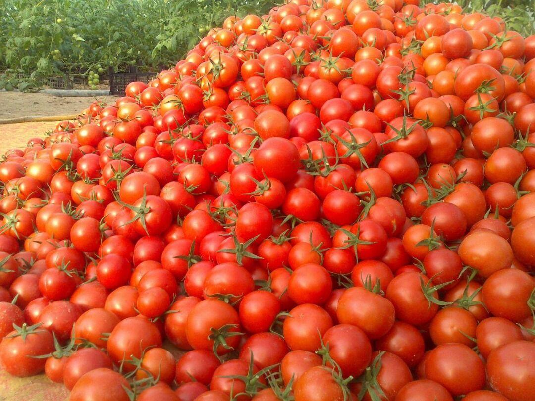 خبری از عرضه گوجهفرنگی تنظیم بازاری نیست