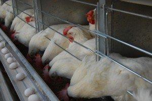 قیمت گوشت مرغ به علت افت تقاضا، کاهش مییابد