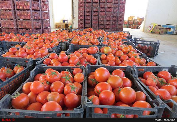 آغاز توزیع گوجهفرنگی ۱۱ هزار تومانی در میادین میوه و ترهبار