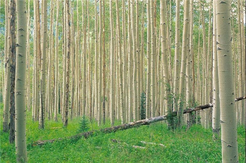 ۱۰۰ هزار هکتار زراعت چوب در ناحیه رویشی زاگرس طی ۶ سال
