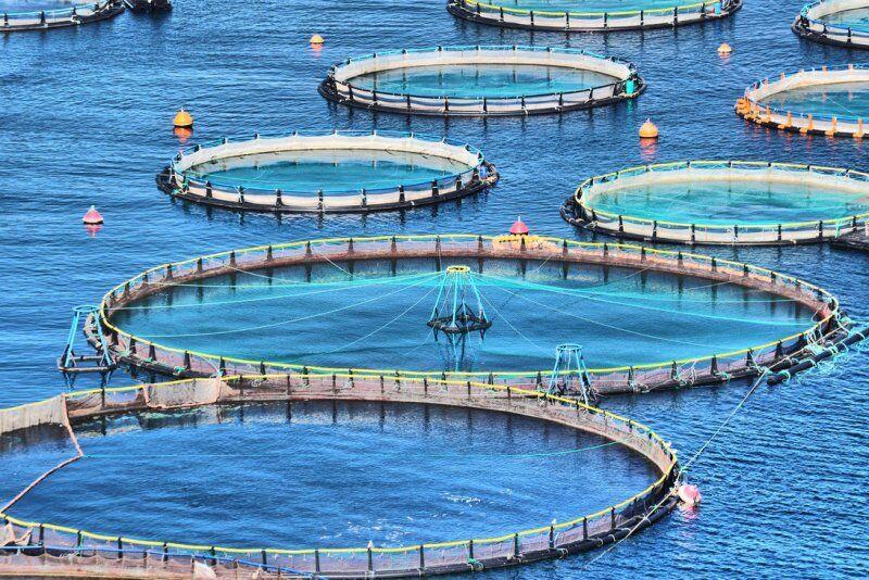 پرورش ماهی آزاد در قفسهای مستقر در دریای خزر