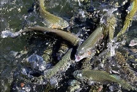 تولید ۱۸۰ هزار تن ماهی قزل آلا در سال جاری