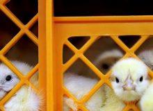 نگرانی تولیدکنندگان از قاچاق و نرخ ۶ هزار تومانی جوجه یکروزه