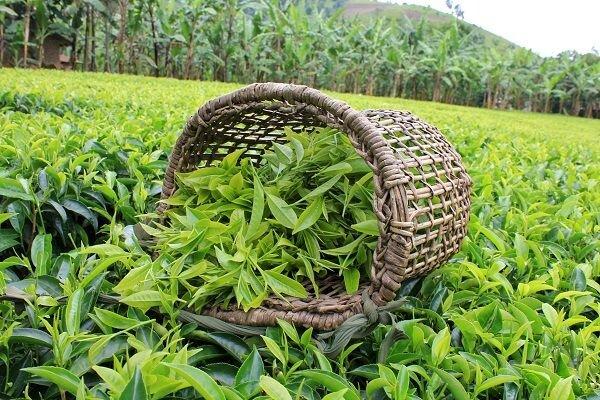 نابودی ۹۰ درصدی مزارع چای مازندران