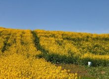 دانههای روغنی با نرخ مصوب شورای قیمتگذاری خریداری میشود