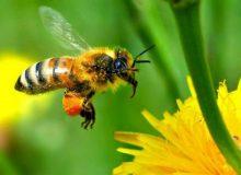دلایل تلفات زنبورهای عسل