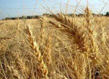 قیمت گندم دلالان بالاتر از نرخ خرید تضمینی