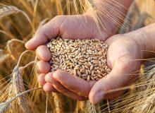 هفته آینده درباره قیمت خرید گندم تصمیمگیری میشود