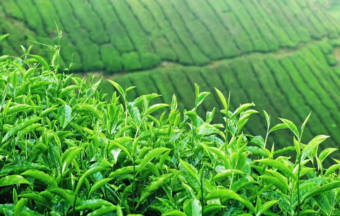 پیش بینی افزایش ۴ هزار تنی تولید برگ سبز چای به رغم کاهش بارندگی