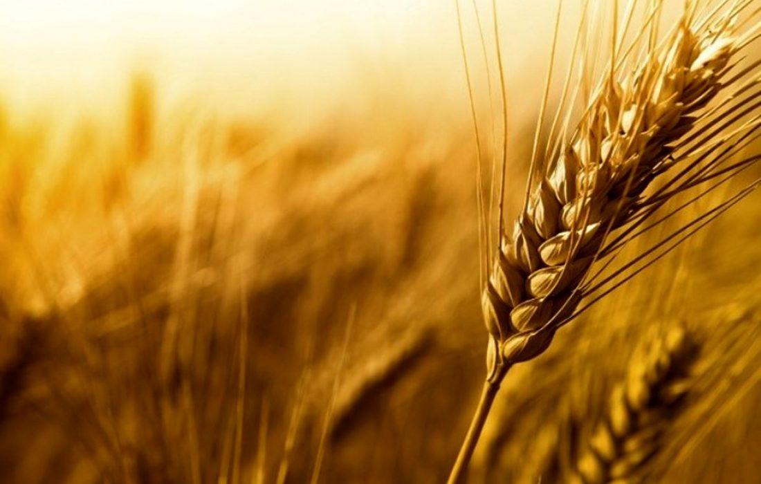 کشاورزان بخشی از گندم را تحویل دولت نمیدهند