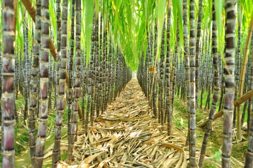 رشد ۷۰ درصدی تولید نیشکر در کشور در سال زراعی جاری