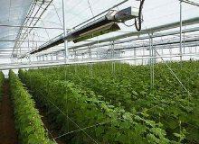 تولید ۱.۲ میلیارد قطعه نشاء سبزی و صیفی در گلخانههای استان بوشهر
