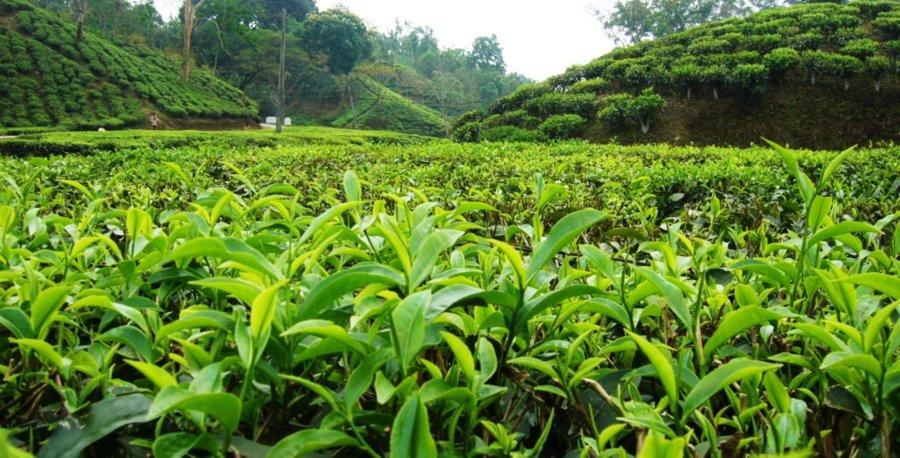 پرداخت ۵۲ میلیارد تومان تسهیلات به چایکاران و کارخانجات فرآوری چای