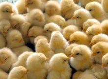 انتقاد از ممنوعیت صادرات تخم مرغ برای تنظیم بازار