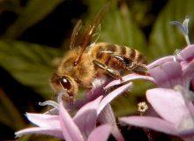 معرفی زنبورعسل به عنوان «نهاده زنده» بخش کشاورزی