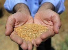 ۳۰۰ هزار تن دانه روغنی توسط شرکت بازرگانی دولتی ایران وارد میشود