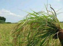 مبارزه با علفها هرز در سطح ۴ میلیون هکتار از مزارع کشور