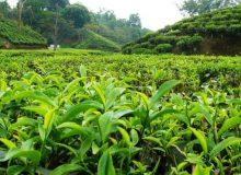 ۵۸ هزار و ۶۱۰ تن برگ سبز چای از چایکاران خریداری شد