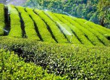خرید ۹۳ هزار تن برگ سبز چای از چایکاران