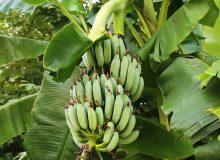 پیش بینی تولید ۵۰ درصد میوه های گرمسیری موردنیاز کشور در سواحل مکران