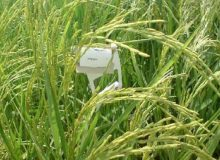 مبارزه شیمیایی و بیولوژیک با کرم ساقهخوار برنج در ۲۷۰ هزار هکتار از شالیزارها