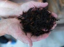افزایش ۲۵ درصدی تولید چای در سالجاری