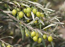 پیشبینی تولید ۱۱۰ هزار تن دانه زیتون در سال جاری