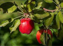 دلایل باد کردن سیب درختی روی دست باغداران