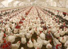 تکلیف تأمین ذرت مرغدارانی که از اول مهر تاکنون جوجهریزی کردهاند چیست؟